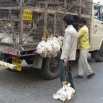 Live chickens in the Colaba market