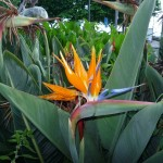Bird of Paradise across the street from the beach - now I see why the plant is named like that!